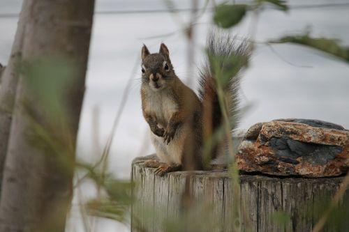 nature squirrel ground squirrel