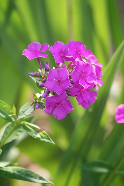 phlox paniculata nature plant