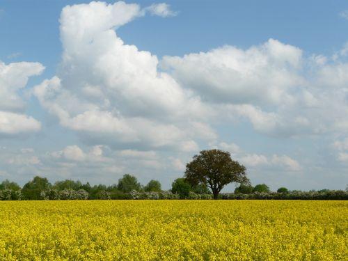 nature field oilseed rape