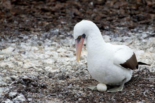 nazca booby booby bird