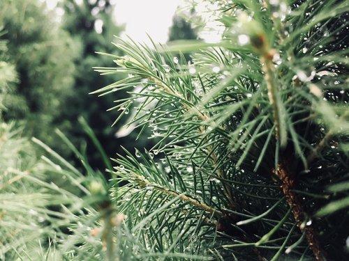 needle  tree  nature