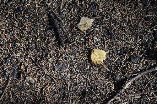 needle  pine  spruce