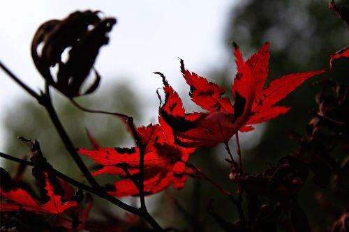 needle leaf maple fall leaves red