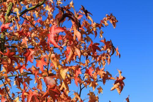 needle leaf maple maple red