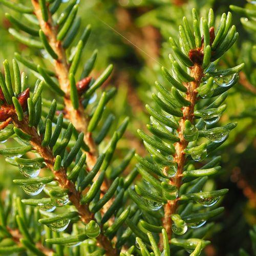 needles twig macro