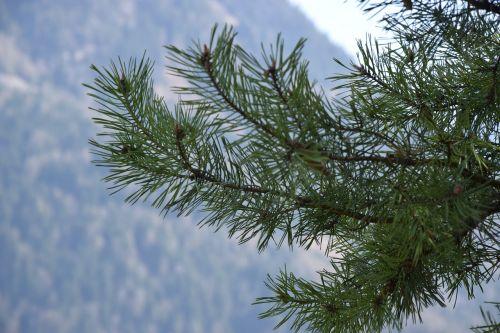 needles tree pine