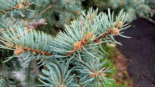needles  pine  needle