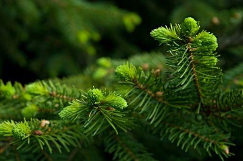 needles spruce twigs