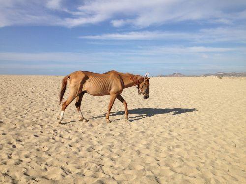 neglected horse beach desert famine