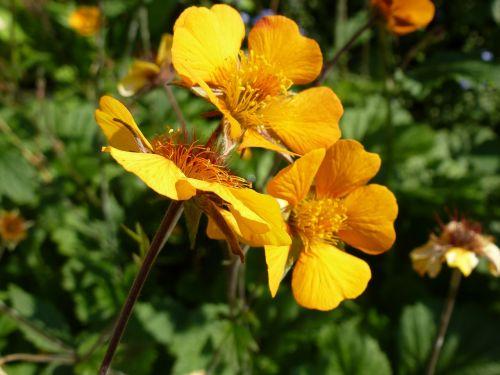 nelkwurz yellow orange