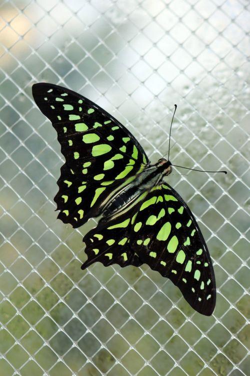 neonas,žalias,drugelis,šviesus,švytėjimas,spalvinga,juoda,spalva,modelis,gyvas,gyvas,sparnai,klaida,vabzdys