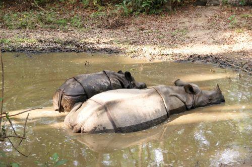 Rhino,chitwan,Nepalas,Nacionalinis parkas