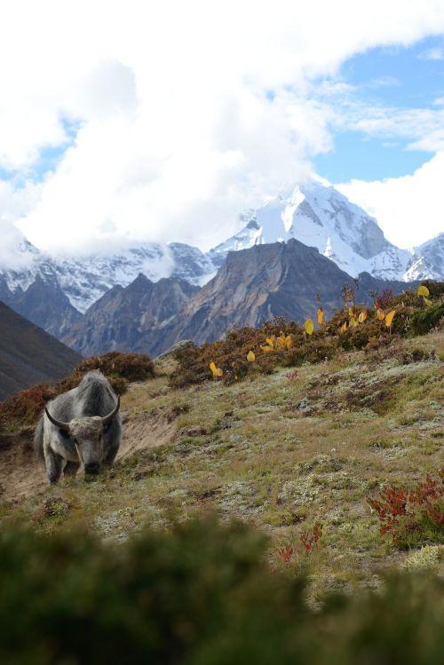 nepal himalayas yak