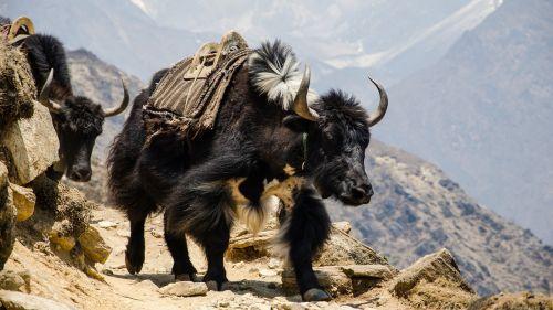 nepal the himalayas hefty