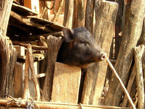 nepal pig piglet