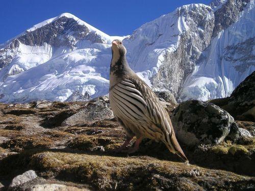 nepal himalayas bird
