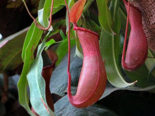 nepenthe epiphyte carnivorous plant