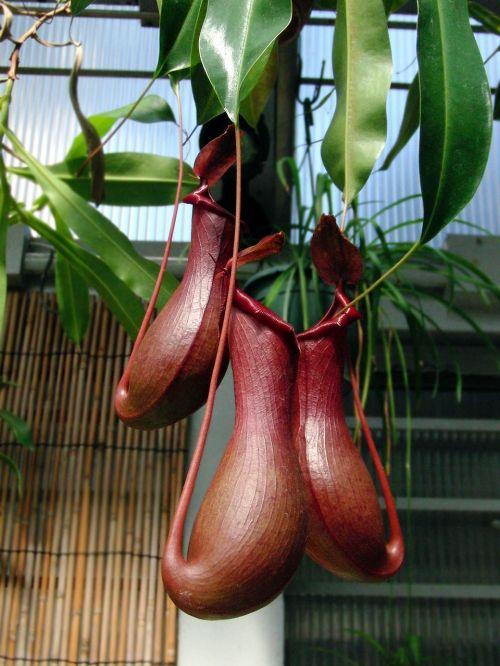 nepenthes,plant-pitcher,plant,carnivorous plant,flora,closeup,nature,garden,plant-flycatcher,botanical garden
