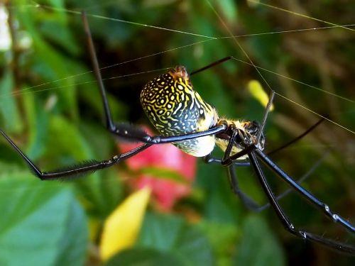 nephila fenestrata black-legged golden orb-weaver golden orb spider