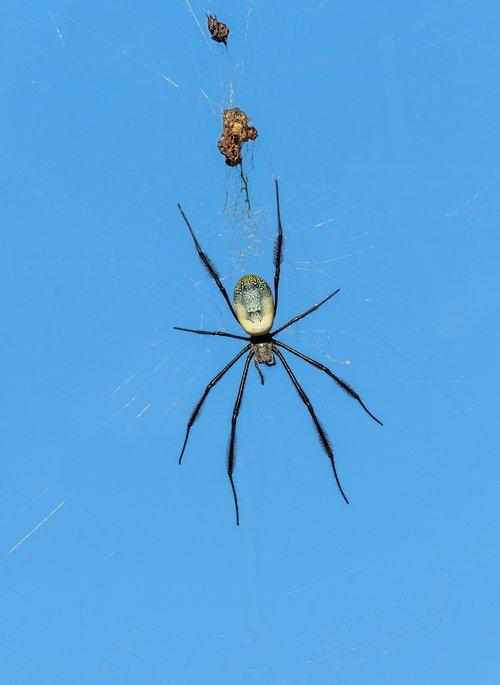 nephila fenestrata spider  spider  web