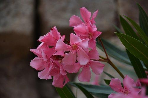 nerium oleander  pink  flower