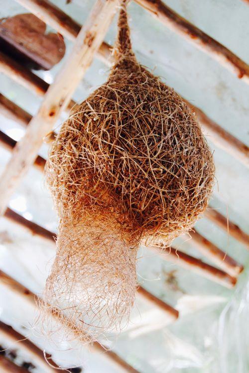 nest bird's nest hatching