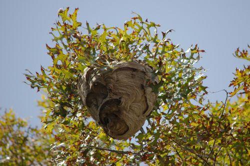 nest wasp yellow jacket