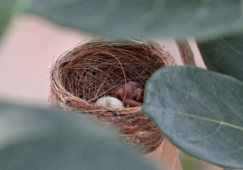 lizdas,viščiukas,išpjauti,kiaušinis,baltos spalvos fantailo flecatcher,paukštis,rhipidura albicollis,Dharwad,Indija