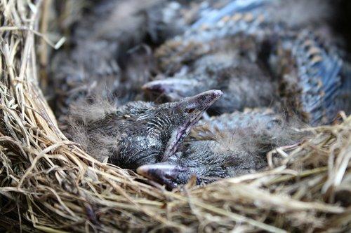 nest  blackbirds  nature