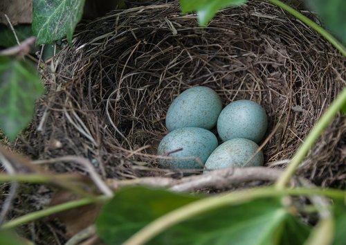 nest  blackbird nest  blackbird