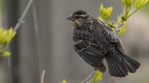nest building time  feather  female redwing blackbird