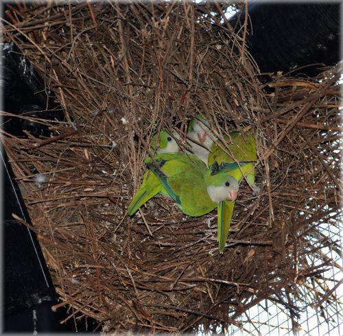 Nest With Dwarf Parrots