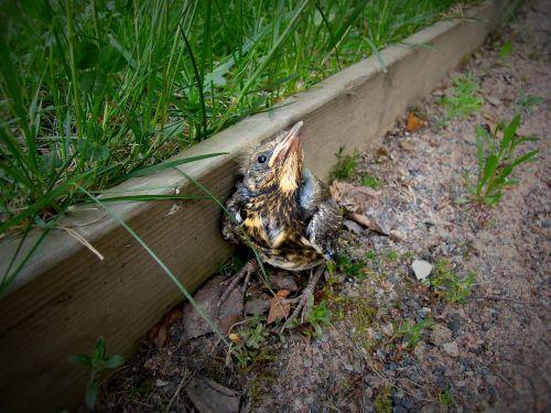 nestling bird cub