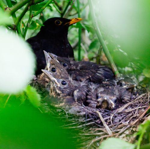 nestling bird nest