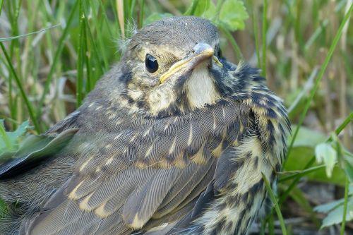 nestling cub bird