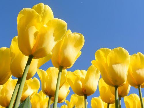 netherlands tulips keukenhof