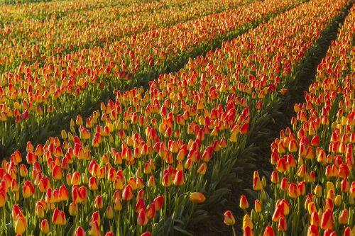 netherlands flower spring