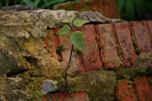 nettle brick plant