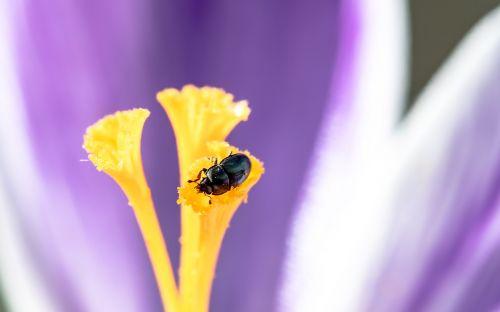 nettle jewel beetle ried grass beetles brachypterus urticae