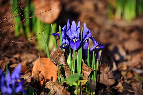 nettled iris  iris reticulata  winter flower