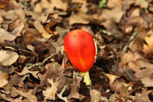 New Amanita Jacksonii Mushroom