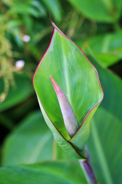 New Canna Leaf