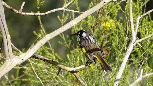 new holland honeyeater bird australian native bird