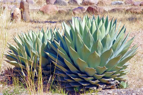 new mexico agave  plant  succulent