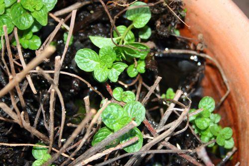 New Mint Leaves