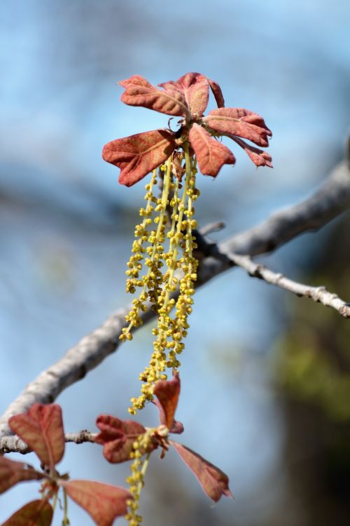 New Oak Leaf With Catkins