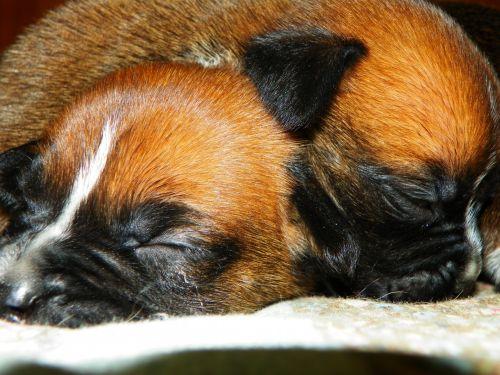 New Tiny Boxer Puppies