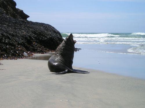 new zealand seal south island