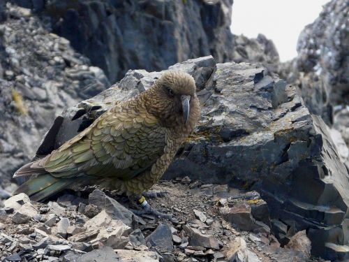 new zealand avalanche peak parrot