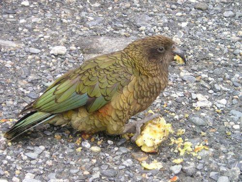 new zealand kea parrot